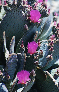 4/27/01 Beavertail Cactus (Opuntia basilaris). North on Kelbaker Road towards Cinder Cones. East Mojave National Preserve, San Bernardino County,