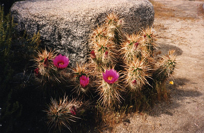 4/9/95 Engelmann Hedgehog, Strawberry Hedgehog (Echinocereus englemanii). Visitor Center, Anza Borrego Desert State Park, San Diego County, CA