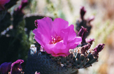 4/27/01 Beavertail Cactus (Opuntia basilaris). Black Canyon Road, south of Hole-in-the-Wall Campground, East Mojave National Preserve, San Bernardino County, CA