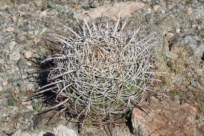 12/10/05 California Barrel Cactus (Ferocactus cylindraceus). Shaver's Valley, Eastern Riverside County, CA