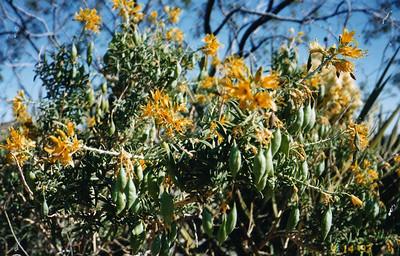 4/13/97 Bladderpod (Isomeris arborea). Cottonwood Spring Picnic Area. Joshua Tree National Park, Riverside County, CA