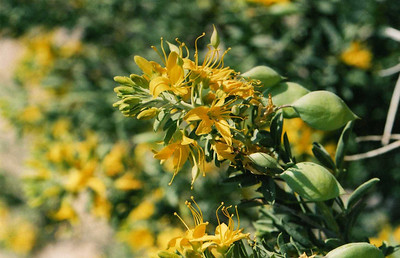 3/13/05 Bladderpod (Isomeris arborea). Roadside off Cottonwood Road, near south boundary of Park. Joshua Tree National Park, Riverside County, CA