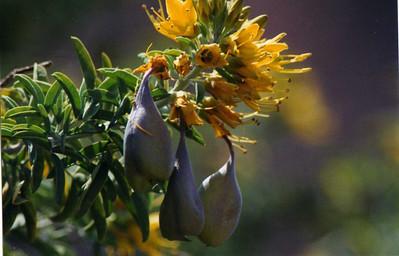 PLANTS: CAPPARACEAE (Caper Family)