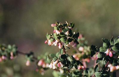 7/6/02 Mountain Snowberry (Symphoricarpos rotundifolius). 9,265 ft., Minaret Vista, Mammoth Region, Mono County, Eastern Sierra, CA