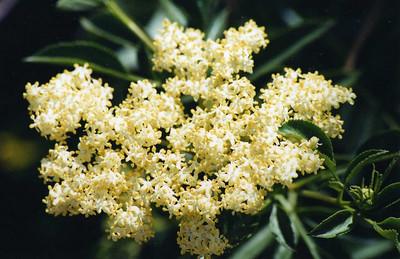 4/12/03 Mexican Elderberry (Sambucus mexicana). Eaton Canyon Natural Area, Eaton Canyon Trail, San Gabriel Mtns., Los Angeles County, CA