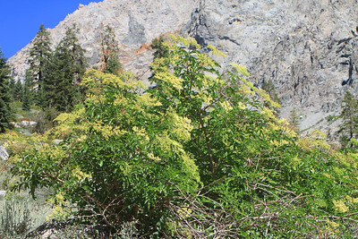 8/15/11 Blue Elderberry (Sambucus mexicana). Onion Valley, Eastern Sierras, Inyo National Forest, Inyo County, CA