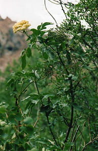 8/16/04 Blue Elderberry (Sambucus cerulea). Lundy Canyon trail to Lundy Falls. Inyo National Forest, Eastern Sierra, Mono County, CA