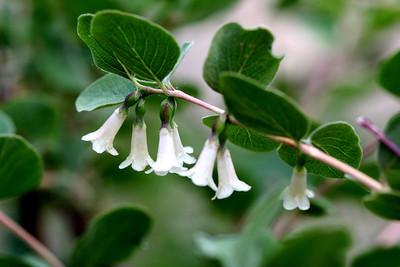 7/10/07 Mountain Snowberry (Symphoricarpos rotundifolius). Virginia Lakes, Toiyabe National Forest, Eastern Sierras, Mono County, CA