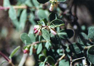 6/12/04 Creeping Snowberry (Symphoricarpos mollis). Round Valley Trail, San Jacinto State Park & Wilderness. Approx. 9,000 ft., Riverside County, CA