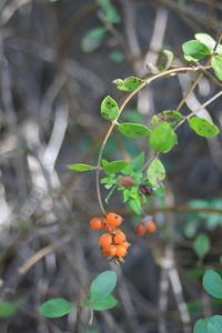11/28/10 11/28/10 Southern Honeysuckle (Lonicera subspicata var. denudata). Abundant along the trail. Vista Grande Trail. Santa Rosa Plateau Ecological Reserve, Riverside County, CA