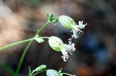 7/9/07 Douglas' Campion / Douglas' Catchfly (Silene douglasii - per DFG Plant List). Hope Valley Wildlife Area, Humboldt-Toiyabe National Forest, Alpine County, CA