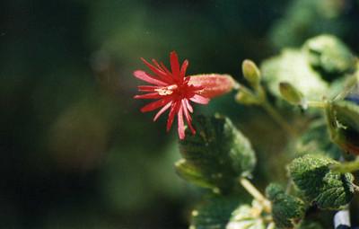 6/1/03 Indian Pink (Silene laciniata ssp. major). San Juan Loop Trail, San Mateo Canyon, Santa Ana Mountains, Cleveland National Forest, Riverside County, CA