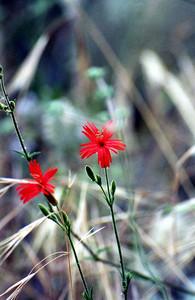 5/19/01 Indian Pink (Silene laciniata ssp. major). JPL to Oakwilde (Gabrielino Trail), Lower Arroyo Seco, San Gabriel Mountains, Los Angeles County, CA