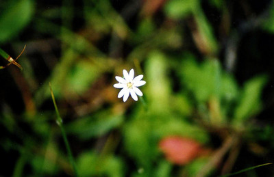 8/16/04 Meadow Chickweed (Stellaria longipes). Dirt road to Lundy Trailhead, Lundy Canyon, Eastern Sierra, Mono County, CA