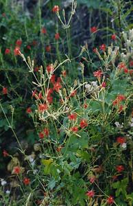 4/27/03 Indian Pink (Silene laciniata ssp. major). JPL to Oakwilde (Gabrielino Trail), Lower Arroyo Seco, San Gabriel Mountains, Los Angeles County, CA