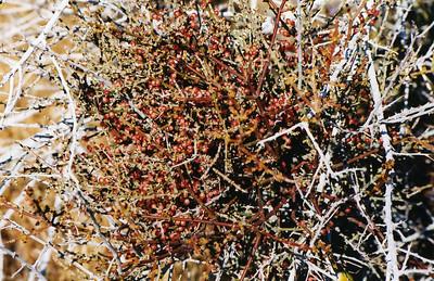 4/4/04 Desert Holly (Atriplex hymenelytra). Pipes Canyon Rd. (loop from Hwy. 247), Yucca Valley, San Bernardino County, CA