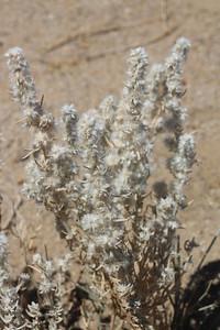 8/18/11 Winter Fat (Krascheninnikovia lanata). Alabama Hills, Lone Pine Region, Eastern Sierras, Inyo County, CA