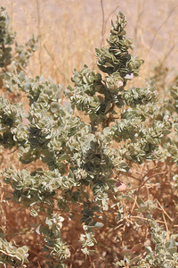 8/18/11 Spiny Hopsage (Grayia spinosa). Alabama Hills, Lone Pine Region, Eastern Sierras, Inyo County, CA