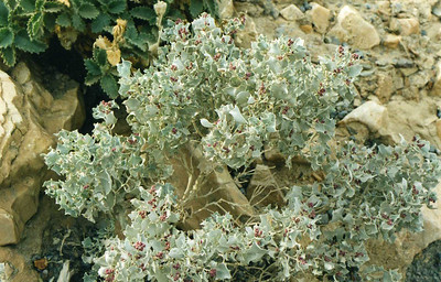 12/5/99 Desert Holly (Atriplex hymenelytra). Entrance to Mosaic Canyon, Death Valley National Park, San Bernardino County, CA