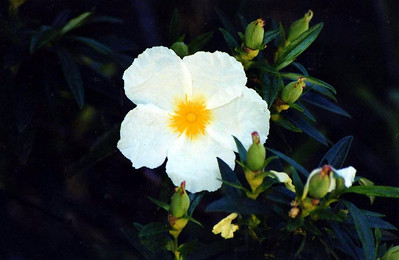 5/6/01 White Rock Rose (Cistus villosus). Parking area/Trailhead, Chantry Flat to Sturtevant Falls, Gabrielino Trail, Big Santa Anita Canyon, San Gabriel Mountains, Angeles National Forest, Los Angeles County, CA