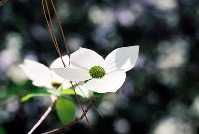 PLANTS: CORNACEAE (Dogwood Family)