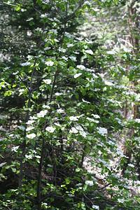 5/6/07 Mountain Dogwood (Cornus nuttalii). S7 (State Park Rd), Palomar Mountain State Park, N. San Diego County, CA