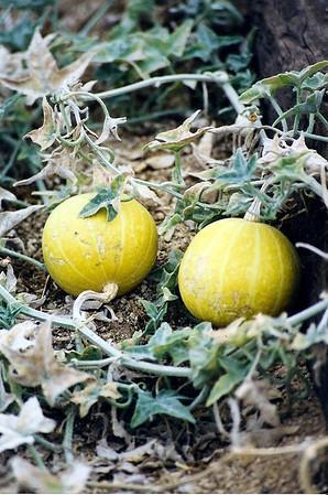 PLANTS: CUCURBITACEAE (Cucumber Family)