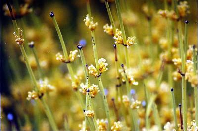 5/25/03 Green Ephedra (Ephedra viridis). Roadside near campgrounds, East Mojave National Preserve, San Bernardino County, CA