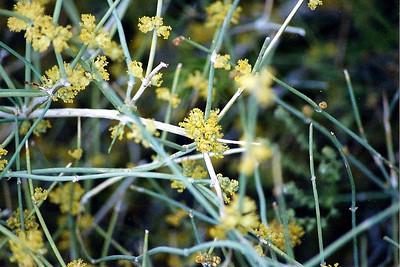 4/27/01 Green Ephedra (Ephedra viridis). Near Campsite #19, Hole-in-the-Wall, East Mojave National Preserve, San Bernardino County, CA
