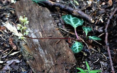 7/8/07 White-veined Wintergreen (Pyrola picta). Beaver Creek Picnic Area, South Grove, Calaveras Big Trees State Park, Calaveras County, CA