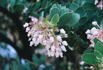 PLANTS: ERICACEAE (Heath Family)