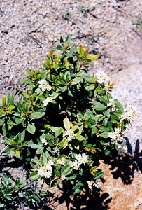 7/1/05 Labrador Tea (Ledum glandulosa). South Lake. Inyo National Forest, Eastern Sierras, Inyo County, CA