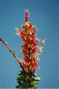 3/8/03 Ocotillo (Fouquieria splendens). Shavers Valley, Riverside County, CA