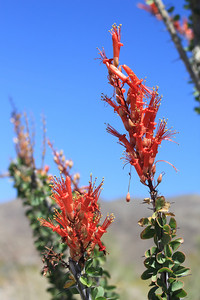 4/3/11 Ocotillo (Fouquieria splendens). Shaver's Valley, Riverside County, CA