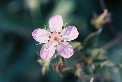 PLANTS: GERANIACEAE (Geranium Family)