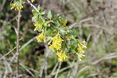 1/1/05 Golden Currant (Ribes aureum). Nature Trail, Santa Fe Dam Recreation Area. Irwindale, Los Angeles County, CA