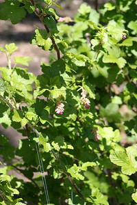 5/6/07 Sierra Currant (Ribes nevadense). Doane Pond, Palomar Mountain State Park, N. San Diego County, CA