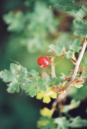 PLANTS: GROSSULARIACEAE (Gooseberry Family)