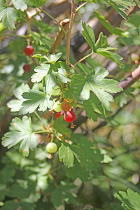 8/15/11 Mountain Gooseberry (Ribes montigenum). Kearsarge Pass trailhead, Onion Valley, Eastern Sierras, Inyo National Forest, Inyo County, CA