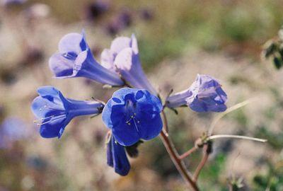 3/13/05 Desert Canterbury Bells (Phacelia campanularia). Roadside off Cottonwood Rd, near south boundary of park. Joshua Tree National Park, Riverside County, CA
