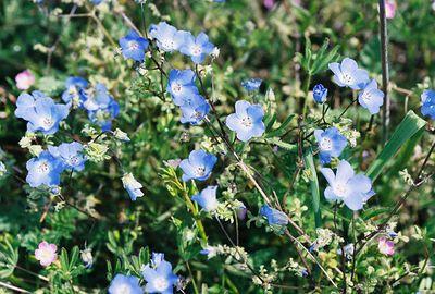 3/6/05 Baby Blue Eyes (Nemophila menziesii). Wilson Valley Road (hills on north side of road, between Hwy. 371 & Reed Valley Rd.). Northwest of Aguanga, Riverside County, CA