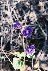 4/3/05 Parry's Phacelia (Phacelia parryi). Grotto Trail, Circle X Ranch. Santa Monica Mountains National Recreation Area, Ventura County, CA