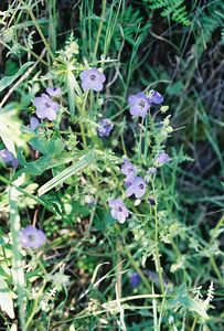 4/3/05 Fiesta Flower (Pholistoma auritum). Grotto Trail, Circle X Ranch. Santa Monica Mountains National Recreation Area, Ventura County, CA