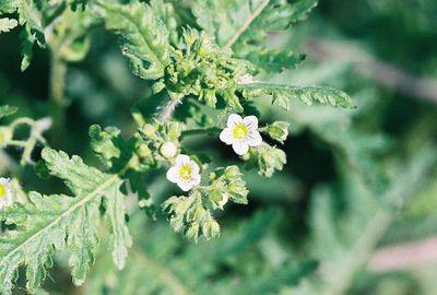 3/6/05 Common Eucrypta (Eucrypta chrysanthemifolia). Kyle Court, La Cresta, Murrieta, Riverside County, CA