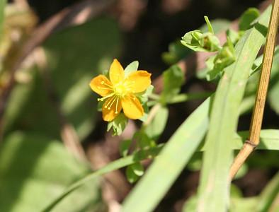 PLANTS: HYPERICACEAE (St. John's Wort Family)