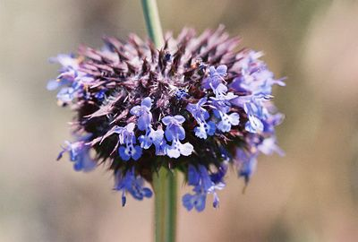 4'9/05 Chia (Salvia columbariae). Lower Arroyo Seco, Gabrielino Trail (JPL to Oakwilde), San Gabriel Mountains, Los Angeles County, CA