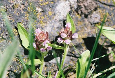 7/4/05 Self Heal (Prunella vulgaris). Blue Lake. Warner Mountain Ranger District, Modoc National Forest, Lassen County, CA