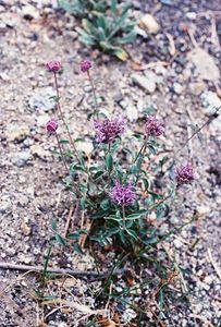8/14/04 Pennyroyal (Monardella glauca). South Lake, Eastern Sierras, Inyo National Forest, Inyo County, CA