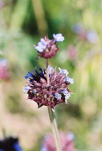 3/13/05 Chia (Salvia columbariae). Pipes Canyon Road, Yucca Valley, San Bernardino County, CA