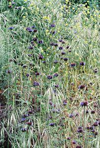 4/2/05 Chia (Salvia columbariae). Eaton Canyon Natural Area, San Gabriel Mountains, Los Angeles County, CA